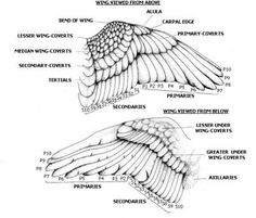 basic wings feather patterns, dorsal and ventral
