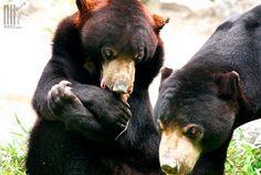 Malayan Sun bears at WFFT