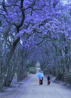 Jacaranda  B-E-A-U-tiful tree, DO NOT WANT  (drops sap onto everything)