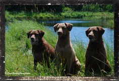 Wordless Wednesday~The SS Gang | Sand Spring Chesapeakes