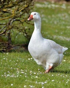 oie domestique | Une oie blanche facilement