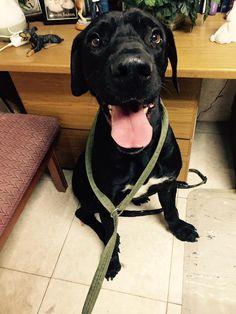 Great Dane dog for Adoption in Del Rio, TX. ADN-558920 on PuppyFinder.com Gender: Female. Age: Adult