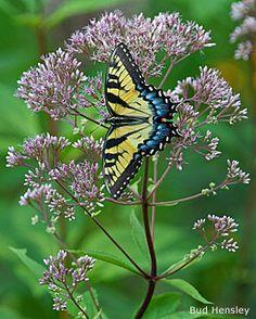 Eastern tiger swallowtail on joe-pye weed by Bud Hensley