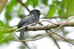 Foto chora-chuva-de-bico-amarelo (Monasa flavirostris) por Robson Czaban   Wiki Aves - A Enciclopédia das Aves do Brasil