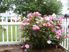 roses landscaping ideas | sure to plant all rose companions at least a foot away from the rose ...