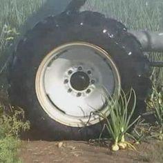 La aplicación de riego diario mediante Pivotes para el cultivo de la cebolla, economiza agua, y optimiza los rendimientos puesto que facilita la aplicación y aprovechamiento del programa de fertilización. El rendimiento del cultivo de la cebolla bajo riego, en suelos franco-arcillosos y arcillosos.
