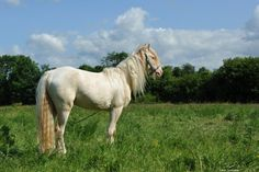All sizes | Gypsy pony stallion | Flickr - Photo Sharing!