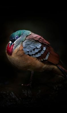 Bleeding-heart dove