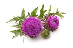 Milk thistle, a member of the Asteraceae family of plants from which daisies and sunflowers belong to, has been used for over 2,000 years to treat gallbladder and liver problems.