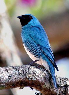 saí andorinha Brazilian bird