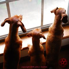 We call this Dachshund Security! Dachshund Funny, Mini Dachshund, Daschund, Funny Dogs, Baby Dogs, Dogs And Puppies, Baby Puppies, I Love Dogs, Cute Dogs