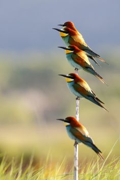Beautiful Bee-Eater. -You may like video: https://www.youtube.com/watch?v=-xeEQnIaKws - Photography by Jonathan Lhoir on 500px, http://500px.com/photo/67333711/bee-eater-by-jonathan-lhoir?utm_medium=pinterest&utm_campaign=nativeshare&utm_content=web&utm_source=500px
