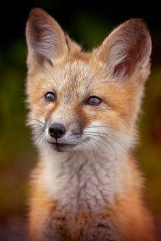 Fox by americanbruce