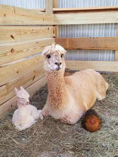 This alpaca gave birth yesterday. Nugget the chicken is the baby's godmother   #alpaca #funny #cute #animals #love afunnybunny.com