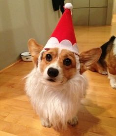 21 Christmas Corgis | PawNation