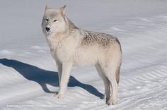 Gray wolf  in Yellowstone National park.