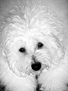 This looks just like my Bichon Frise!