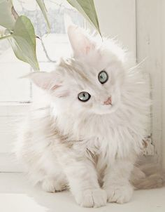 White Maine Coon.