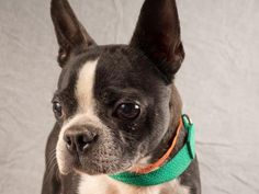 Petango.com – Meet Harley, a 7 years 7 months Terrier, Boston available for adoption in COLORADO SPRINGS, CO