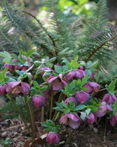 IMBOLC Herbs: Hellebores, Pine, Juniper