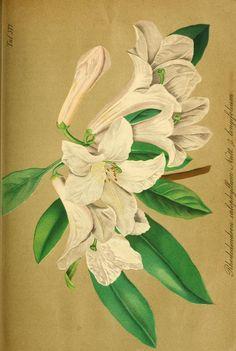 1882 gartenflora zeitschrift f r garten und blumenkunde volume bd 31 illustrations and for Zeitschrift gartenflora