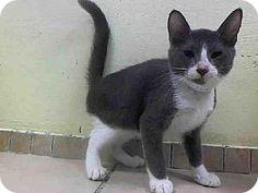 Brooklyn, NY - Domestic Shorthair. Meet THOMAS, a kitten for adoption. http://www.adoptapet.com/pet/11356724-brooklyn-new-york-kitten