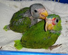 Two baby white-fronts (Amazona albifrons) rescued from felled tree.