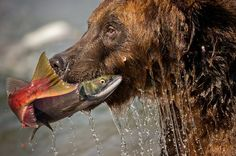 A bear pulls a salmon out of the water while hunting for food in Russia's Kurile Lake. The lake, located in a volcanic crater, is host to one of the largest salmon spawns in Europein. National Geographic Your Shot Photo of the Day. International Photography Awards, Shot Photo, Tier Fotos, Animals Images, Wild Animals, Color Of Life, National Geographic Photos, Land Scape, Animal Kingdom