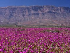 Photos of the rare event of Atacama desert in bloom, desierto florido in Chile. Only every five to eight years it rains and the driest desert comes to life. Pablo Neruda, Wild Flower Meadow, Wild Flowers, Desert Flowers, Places To Travel, Places To Go, Wildwood Flower, Deserts Of The World, Dry Desert