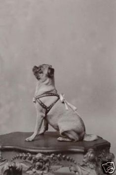 There's a movement to starts breeding pugs back to the longer snout like in this Victorian photograph BECAUSE IT'S HEALTHIER FOR THE DOG. Retro Pugs-- look 'em up.