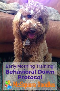 Early Morning Training: Trying the Behavioral Down Protocol from Mark McCabe with Training Between the Ears. This fairly simple relaxation protocol allows me to get caught up on a few tasks while training our dog at the same time. #dogtraining #dogtrainingideas #McSquareDoodles