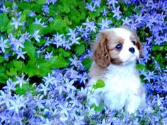 Oh! how cute is this??? cavalier king charles