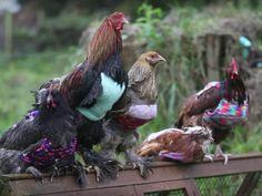 When Did Backyard Chickens Start Dressing Like L.L.Bean Models? http://www.rodalesorganiclife.com/garden/when-did-backyard-chickens-start-dressing-like-llbean-models