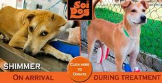 Shimmer is a stray dog of Thailand. He is literally one of millions. He arrived at the Soi Dog shelter having been hit by a car while trying to cross the street. Stray dogs in Thailand are fed by people in their communities and it was one of these people who found Shimmer and alerted us. https://www.soidog.org/en/donate-today/ert/ert4.html?utm_source=facebook&utm_medium=FBO_L_Shimmer2&utm_campaign=ert