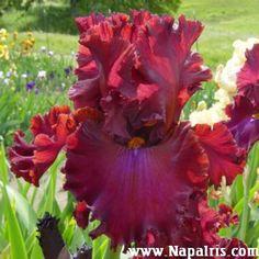 Napa Country Iris Garden - Iris Garden in Napa California featuring Tall Bearded Iris Rhizomes. Beautiful flower photos and great prices