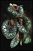 Pleurothallis melanopoda. A species orchid ( color)