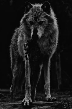 wolf wolf The Netherlands are the country in europe to ban wild animals in circuses. there is no circus with thee poor animals. Beautiful Creatures, Animals Beautiful, Cute Animals, Wild Animals, Wolf Spirit, My Spirit Animal, Wolf Love, Wolf Pictures, Beautiful Wolves