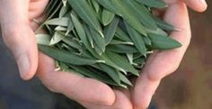 Olive Leaves - This Simple Leaf Prevents Stroke, Hypertension, Diabetes, Alzheimer's And Natural Treatments, Natural Cures, Natural Health, Diabetes, Herbal Extracts, How To Make Tea, Olive Tree, Medicinal Plants, How To Increase Energy