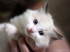 ragdoll kitten #cat