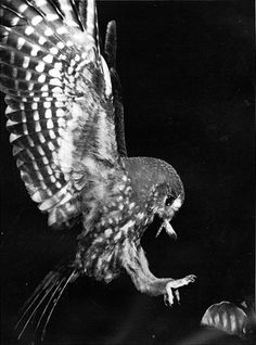 Ruru. Geoff Moon, Morepork arriving with moth, from Focus on New Zealand birds (1960).