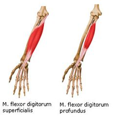 SW Sportmassage © - Anatomie - M. flexor digitorum superficialis & M. flexor digitorum profundus