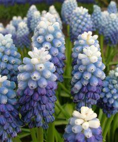 Muscari aucheri Ocean Magic - Muscari - Flower Bulbs Index