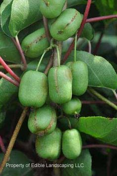 List of Uncommon Cold Hardy Fruit Trees (Gardening Zones 3-7)