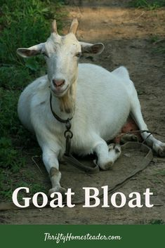 Bloat is one of the most misunderstood symptoms in goats. This explains what it is and is not.  #goathealth #raisinggoats Home Remedies For Bloating, Breeding Goats, Nigerian Dwarf Goats, Raising Goats, Animal Science, Baby Goats, Homestead, Animals, Animales