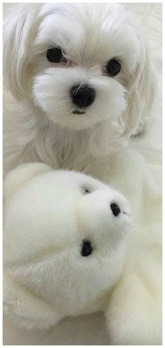 Little Pet Shop, Little Pets, Cute Puppies, Dogs And Puppies, Maltese Puppies, Doggies, Puppy Pictures, Puppy Pics, Fabulous Furs