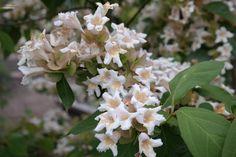 Dipelta floribunda bloemen- forse (sier)struik tot 3 m. bloeit wit met geel-oranje kelk in mei juni, geurt, de 'vruchten' hebben door de schutbladeren ook sierwaarde. Normale grond.