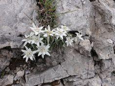 Edelweiss am Monte Baldo Plants, Hiking, Plant, Planets