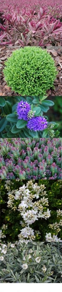 Hebes Collection - Selection of 6 Outstanding Hardy Evergreen Hebe Plants