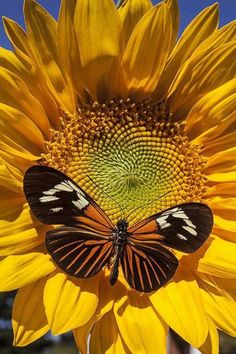 The sunflower and the butterfly ,two beautiful signs of summer! Butterfly Kisses, Butterfly Flowers, Beautiful Butterflies, Beautiful Flowers, Beautiful Pictures, Sun Flowers, Butterfly Photos, Mellow Yellow, Belle Photo