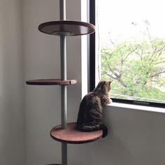 kaedeさんの、アメリカンショートヘア,キャットウォーク,キャットタワー,猫,猫のいる暮らし,ねこと暮らす。,ねこのいる日常,壁/天井,のお部屋写真